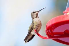 Anna& x27;s hummingbird 2 stock images