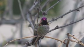 Anna's hummingbird on a branch