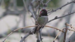 Anna`s hummingbird on a branch