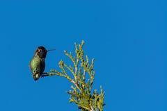 Anna's Hummingbird. (Calypte anna Royalty Free Stock Photography
