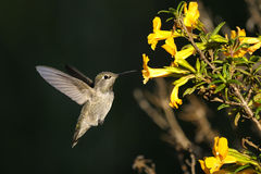 Anna's hummingbird, calypte anna Stock Photos