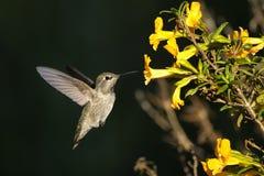 Anna's hummingbird, calypte anna. Portrait Stock Photos