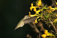 Anna's hummingbird, calypte anna. Portrait Royalty Free Stock Photos