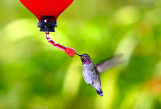 Anna's Hummingbird~ Calypte Anna. Anna's Hummingbird On Green Background~ Calypte Anna ~ Southern California Native Royalty Free Stock Images