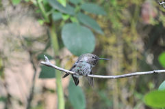 Anna`s Hummingbird Calypte anna on a branch. Anna`s Hummingbird Calypte anna sitting on a branch Royalty Free Stock Images