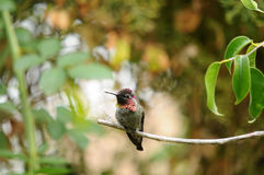Anna`s Hummingbird Calypte anna on a branch Royalty Free Stock Photos