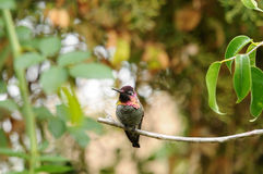 Anna`s Hummingbird Calypte anna on a branch Stock Image