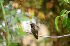 Anna`s Hummingbird Calypte anna on a branch Stock Photo