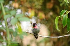 Anna`s Hummingbird Calypte anna on a branch Royalty Free Stock Photo
