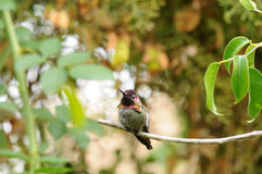 Anna`s Hummingbird Calypte anna on a branch Royalty Free Stock Image