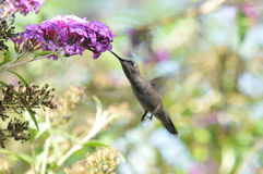 Anna`s Hummingbird Calypte anna Flying while Drinking Nectar from Butterfly Bush. Buddleia davidii `Twilight Royalty Free Stock Images