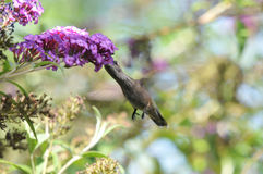 Anna`s Hummingbird Calypte anna Flying while Drinking Nectar from Butterfly Bush. Buddleia davidii `Twilight Stock Photos