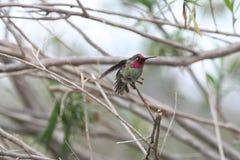 Anna's Hummingbird (Calypte anna) Stock Image