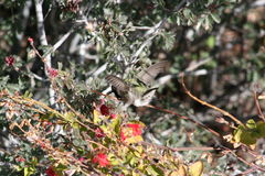 Anna`s Hummingbird Calypte anna. A wild Anna`s Hummingbird Calypte anna at the Arizona Sonora Desert Museum, Arizona Royalty Free Stock Image