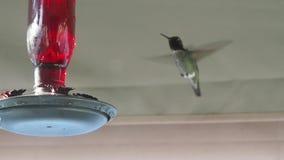 Anna`s Hummingbird on a feeder, slow motion
