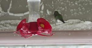 Anna's hummingbird on a feeder during snowstorm
