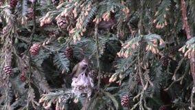 Anna's hummingbird feeding chicks stock footage