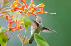 Annas Hummingbird feeding on Honeysuckle Flowers Stock Photography