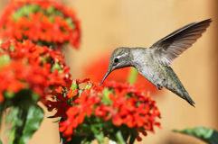 Anna's Hummingbird feeding on Maltese Cross flowers. British Columbia, Canada Royalty Free Stock Photography