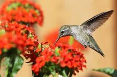 Anna's Hummingbird feeding on Maltese Cross flowers Royalty Free Stock Photography