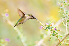 Annas Hummingbird feeding on Sage Flowers Stock Images