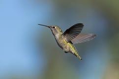Anna`s hummingbird stock images