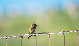 Anna's Hummingbird on a Fence Royalty Free Stock Images