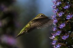 The Hummingbird about to Eat royalty free stock photo