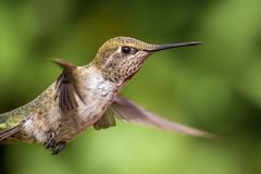Anna's Hummingbird in Flight Stock Image