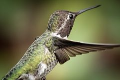 Anna's Hummingbird in Flight Royalty Free Stock Photo