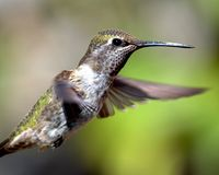 Anna's Hummingbird in Flight Stock Photography