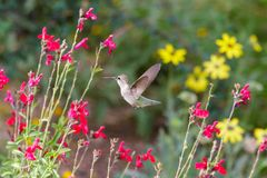 Anna`s Hummingbird in flight, feeding on red flowers. Anna`s Hummingbird hovering mid flight, feeding on bright red flowers, in Arizona`s Sonoran desert royalty free stock photography