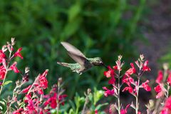 Anna`s Hummingbird in flight, feeding on red flowers. Anna`s Hummingbird hovering mid flight, feeding on bright red flowers, in Arizona`s Sonoran desert royalty free stock image