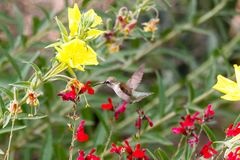 Anna`s Hummingbird in flight, feeding on red flowers. Green foliage and yellow blossoms in background. Anna`s Hummingbird hovering mid flight, feeding on bright royalty free stock photography