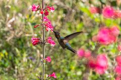 Anna`s Hummingbird in flight, feeding on red flowers. Green plants in background. Anna`s Hummingbird hovering mid flight, feeding on bright red flowers, with royalty free stock photo