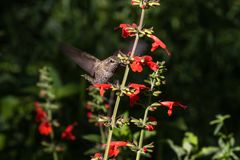 Anna`s Hummingbird in flight, feeding on red flowers. Anna`s Hummingbird hovering mid flight, feeding on bright red Salvia flowers, in Arizona`s Sonoran desert royalty free stock photography