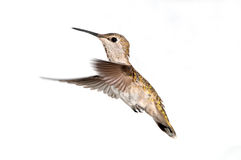 Annas Hummingbird in Flight, Female Royalty Free Stock Photos