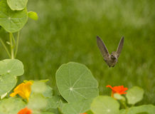 Anna's Hummingbird in flight over orange and yellow Nasturtium flowers Stock Photography