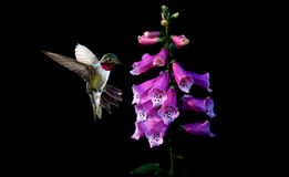 Anna`s Hummingbird with flowers of purple foxglove Stock Photography