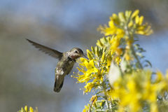 Anna's Hummingbird flying drinking from flowers Stock Photo