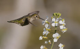 Anna`s Hummingbird Stock Photography