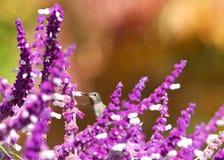 Anna`s hummingbird hiding in Mexican Sage drinking nectar stock photo