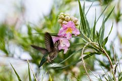 Anna`s Hummingbird hovering, feeding on large pink flower above. Anna`s Hummingbird hovering under two large pink blossoms, feeding on one of them. In Arizona`s stock photos