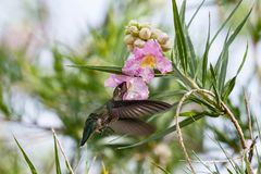 Anna`s Hummingbird hovering, feeding on large pink flower above. Anna`s Hummingbird hovering under two large pink blossoms, feeding on one of them. In Arizona`s stock photo