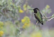 Anna`s Hummingbird Stock Photography
