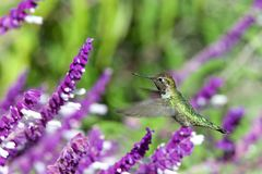 Anna`s hummingbird in Mexican Sage flowers. One ruby throated hummingbird in flight hovering in purple Mexican Sage flower bushes. It is by far the most common royalty free stock image