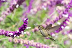 Anna`s hummingbird in Mexican sage stock image