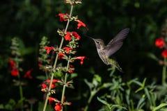 Anna`s Hummingbird, mid flight, near red flowers. Anna`s Hummingbird, mid flight, feeding on red flowers. In Arizona`s Sonoran Desert royalty free stock photo