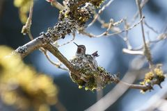 Annas Hummingbird breeding. Anna`s Hummingbird nest breeding at Delta BC Canada Stock Photography