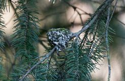 Anna's Hummingbird Nest. Close up royalty free stock images